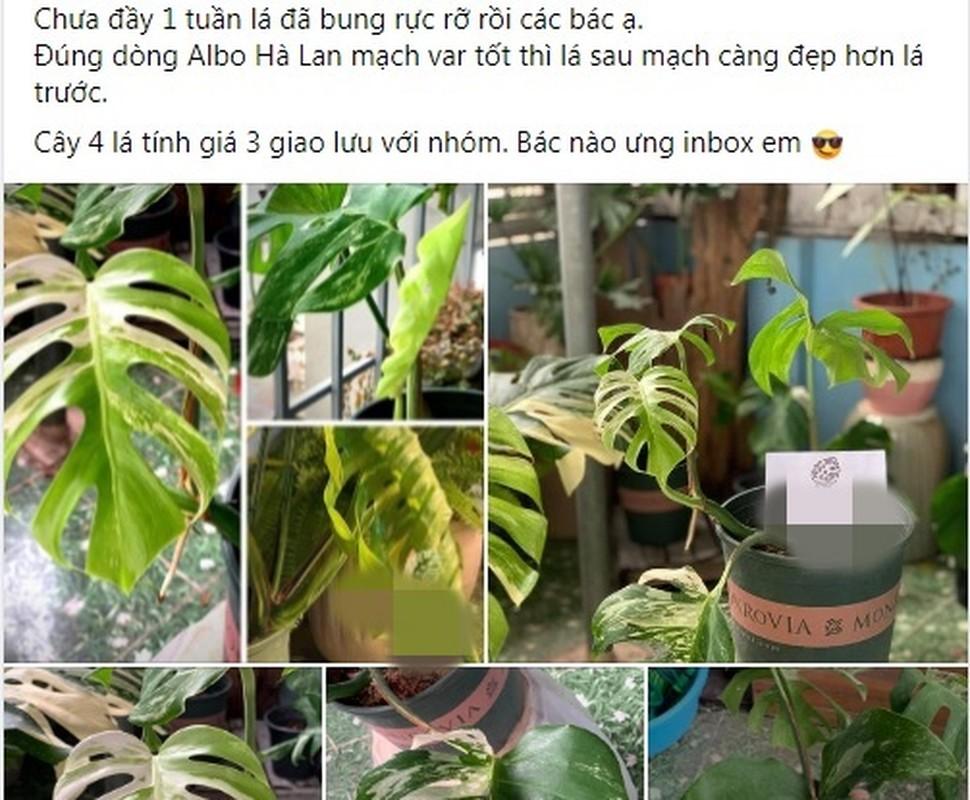 Cay kieng