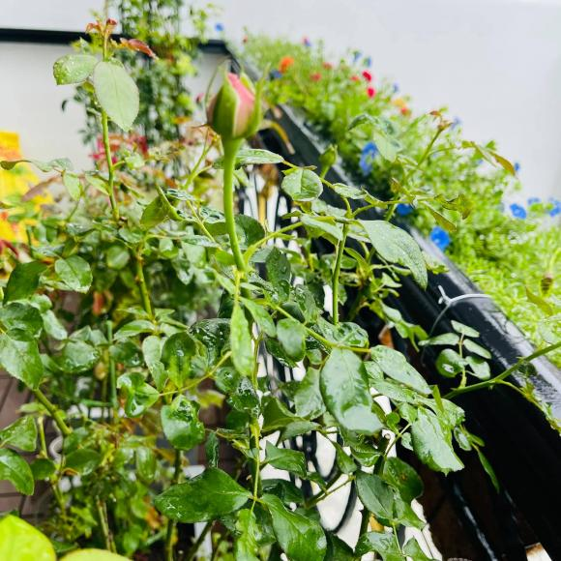 Ban cong xanh muot, ngap hoa trong nha mat pho cua Ho Bich Tram-Hinh-5
