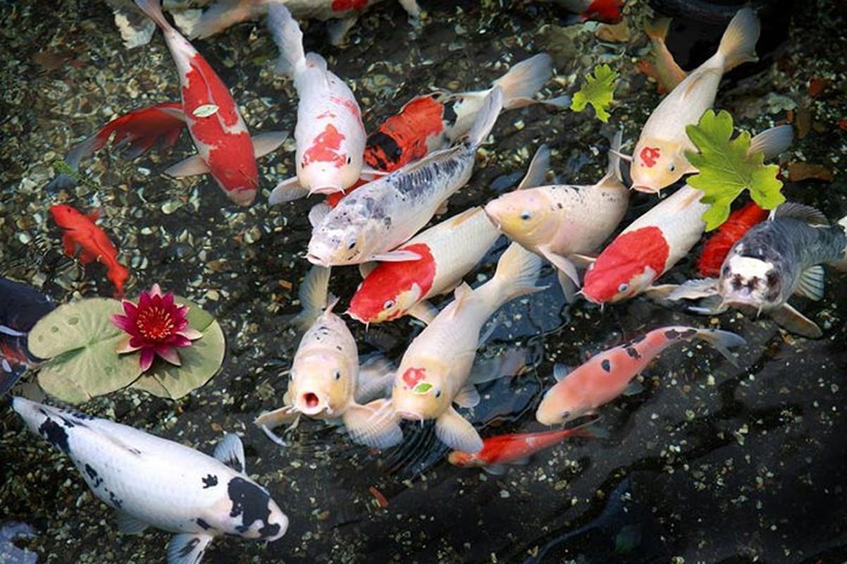 9 loai ca canh de nuoi, dem tai loc cho gia chu-Hinh-2