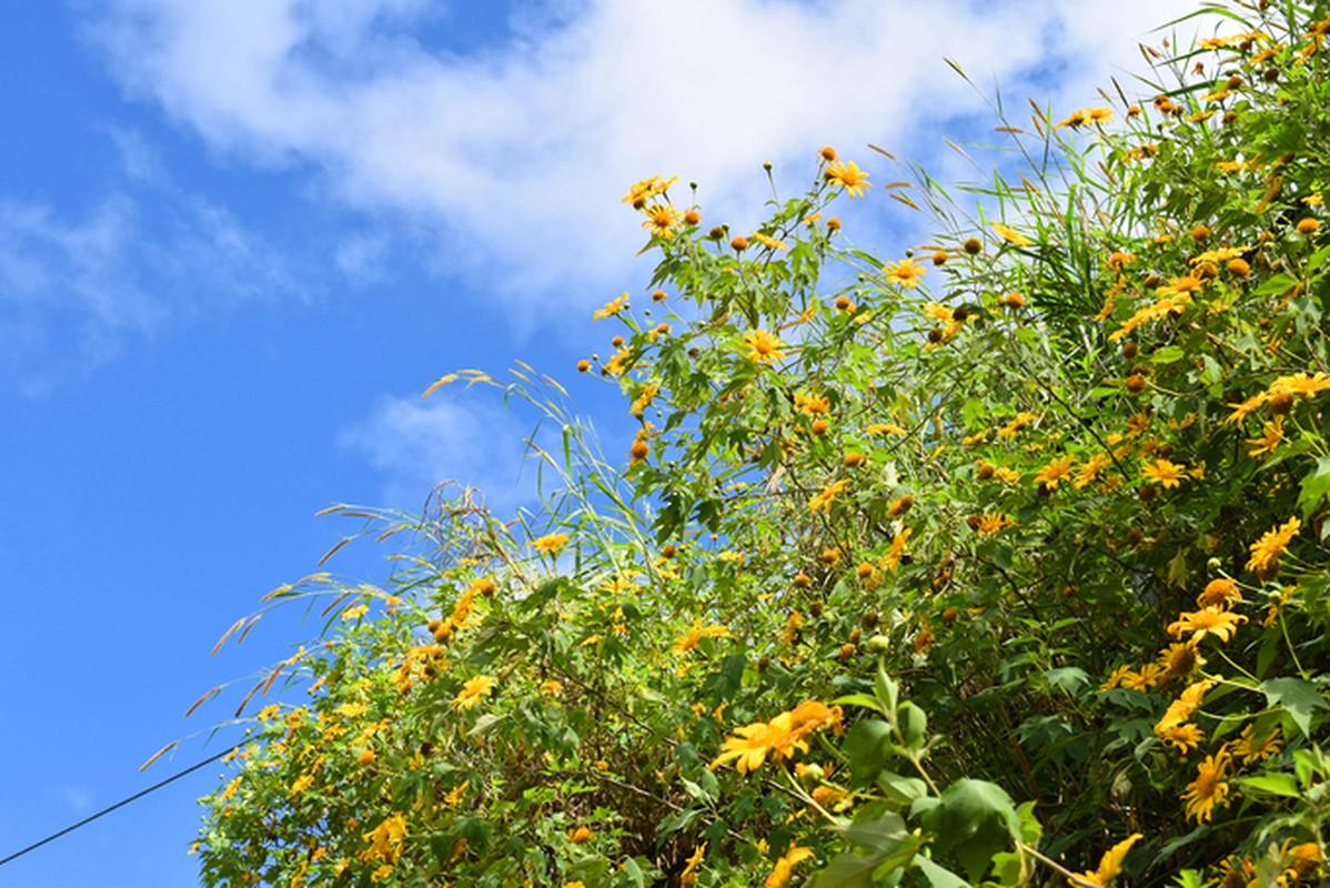 Sac hoa da quy vang ruc phu khap cac cung duong Da Lat-Hinh-2