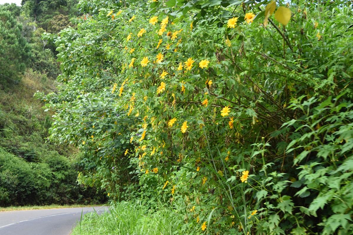 Sac hoa da quy vang ruc phu khap cac cung duong Da Lat-Hinh-7