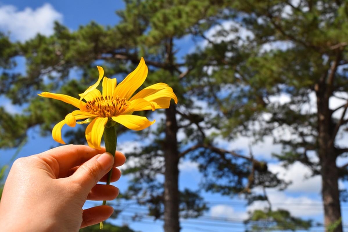 Sac hoa da quy vang ruc phu khap cac cung duong Da Lat-Hinh-8