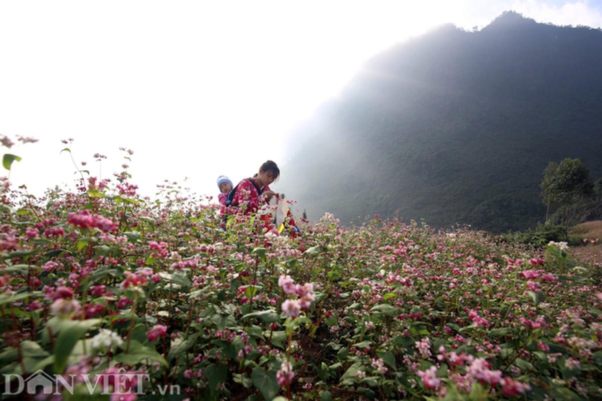 Anh: Me man nhung doi hoa tam giac mach o Ha Giang-Hinh-3