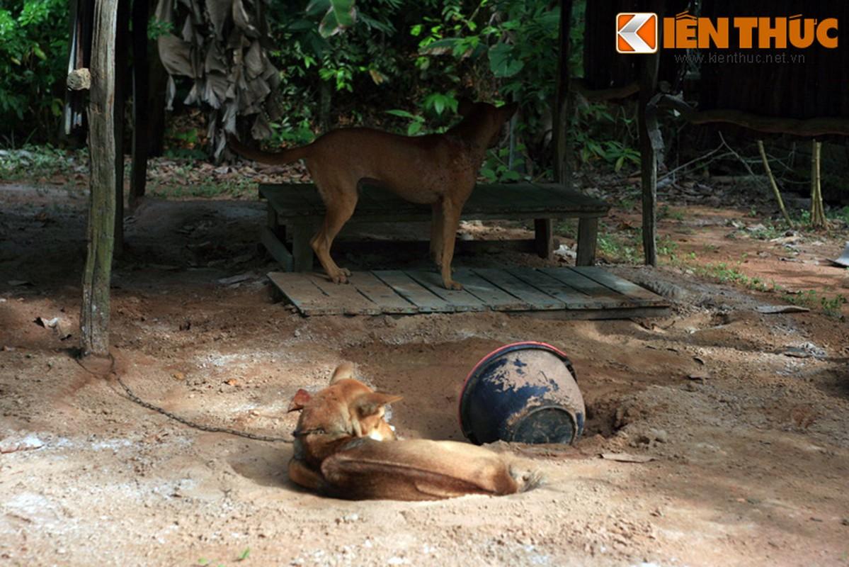 Chuyen kho tin ve nguon goc giong cho Phu Quoc huyen thoai-Hinh-8