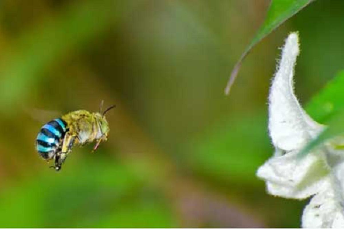 Xuat hien loai ong co mau xanh da troi cuc hiem tai Uc-Hinh-3