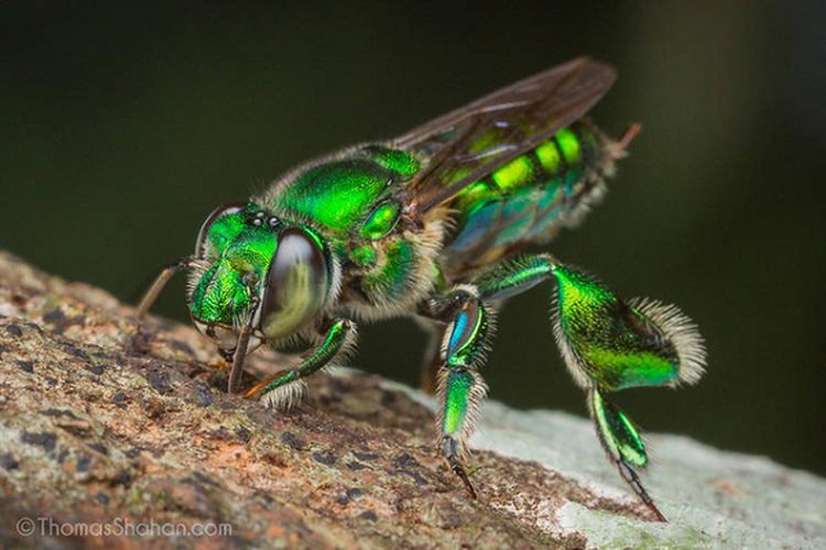 Xuat hien loai ong co mau xanh da troi cuc hiem tai Uc-Hinh-6