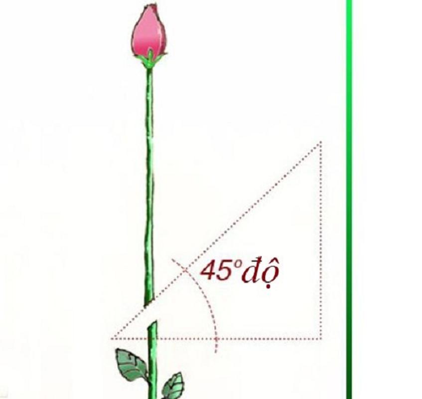 Cach trong hoa hong bang khoai tay cuc don gian lai cho hoa ruc ro-Hinh-2