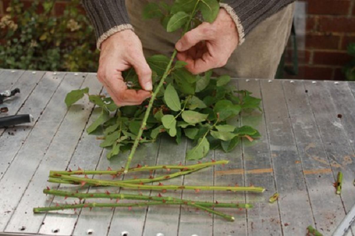 Cach trong hoa hong bang khoai tay cuc don gian lai cho hoa ruc ro-Hinh-3