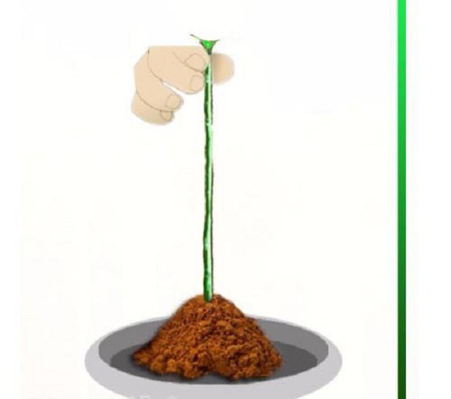Cach trong hoa hong bang khoai tay cuc don gian lai cho hoa ruc ro-Hinh-7