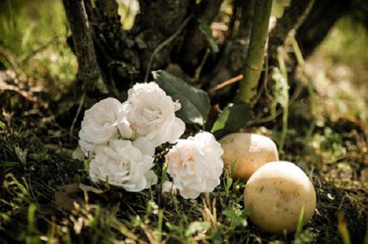 Cach trong hoa hong bang khoai tay cuc don gian lai cho hoa ruc ro