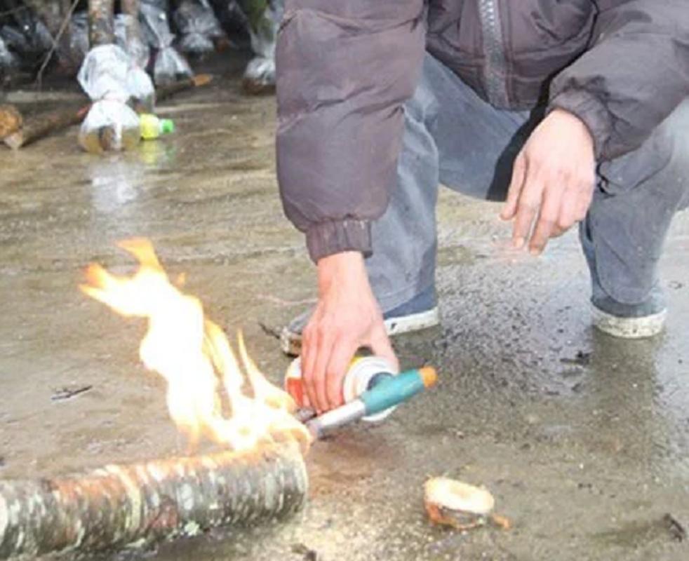 Đừng đốt gốc, có nhiều cách chăm sóc đào Tết cực hiệu quả