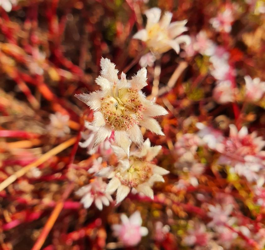 Ky la loai hoa tuyet dep no ro sau nhung tran chay rung o Australia-Hinh-12
