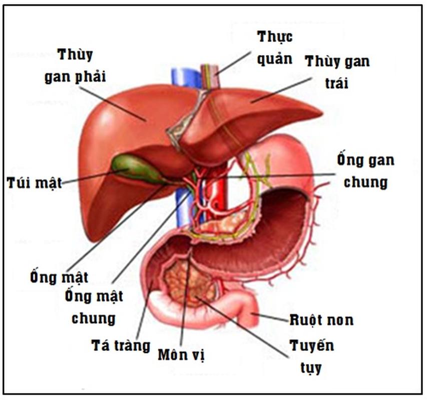 Nong: Tai tao va san xuat gan ghep tang trong phong thi nghiem-Hinh-6