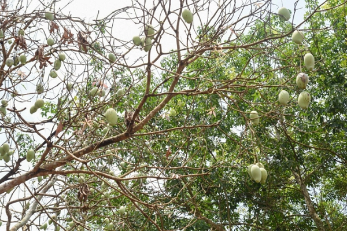 Canh bao loai bo canh cung pha hoai mua mang tan cong nong dan Binh Phuoc-Hinh-2