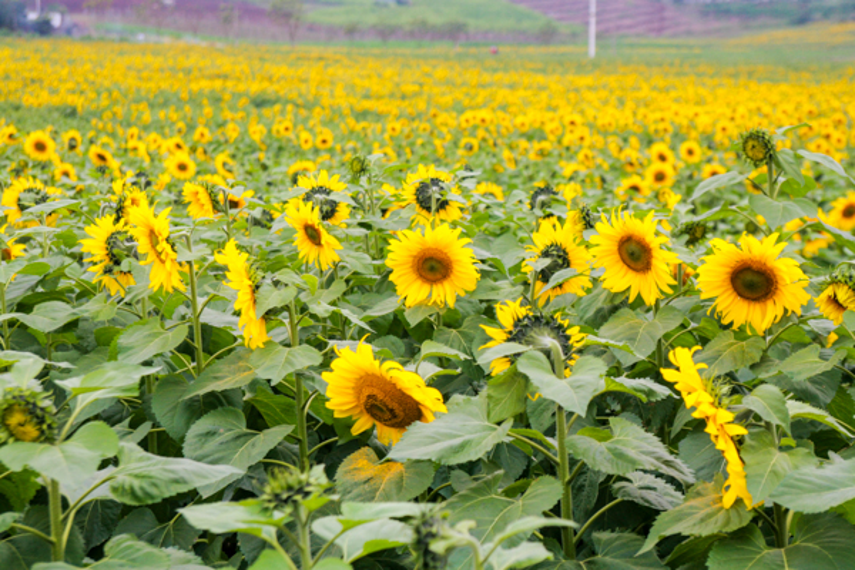Ly do hoa huong duong duoc trong sau tham hoa hat nhan-Hinh-9