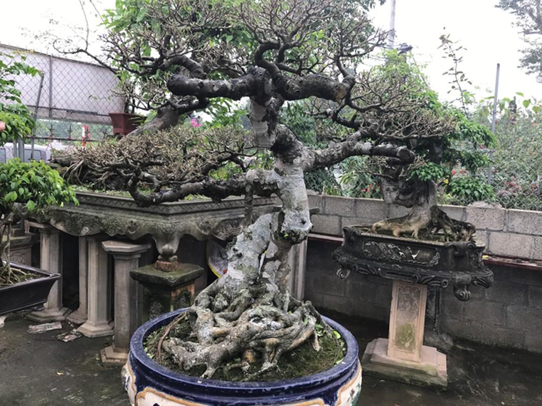 Vuon cay canh tien ty, khong muon ban cho ai cua dai gia Hung Yen-Hinh-12