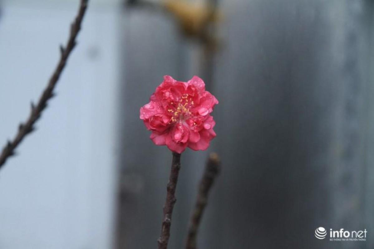 Dao Tien Vua chi thich nam dieu hoa, da chiu... no hoa-Hinh-8