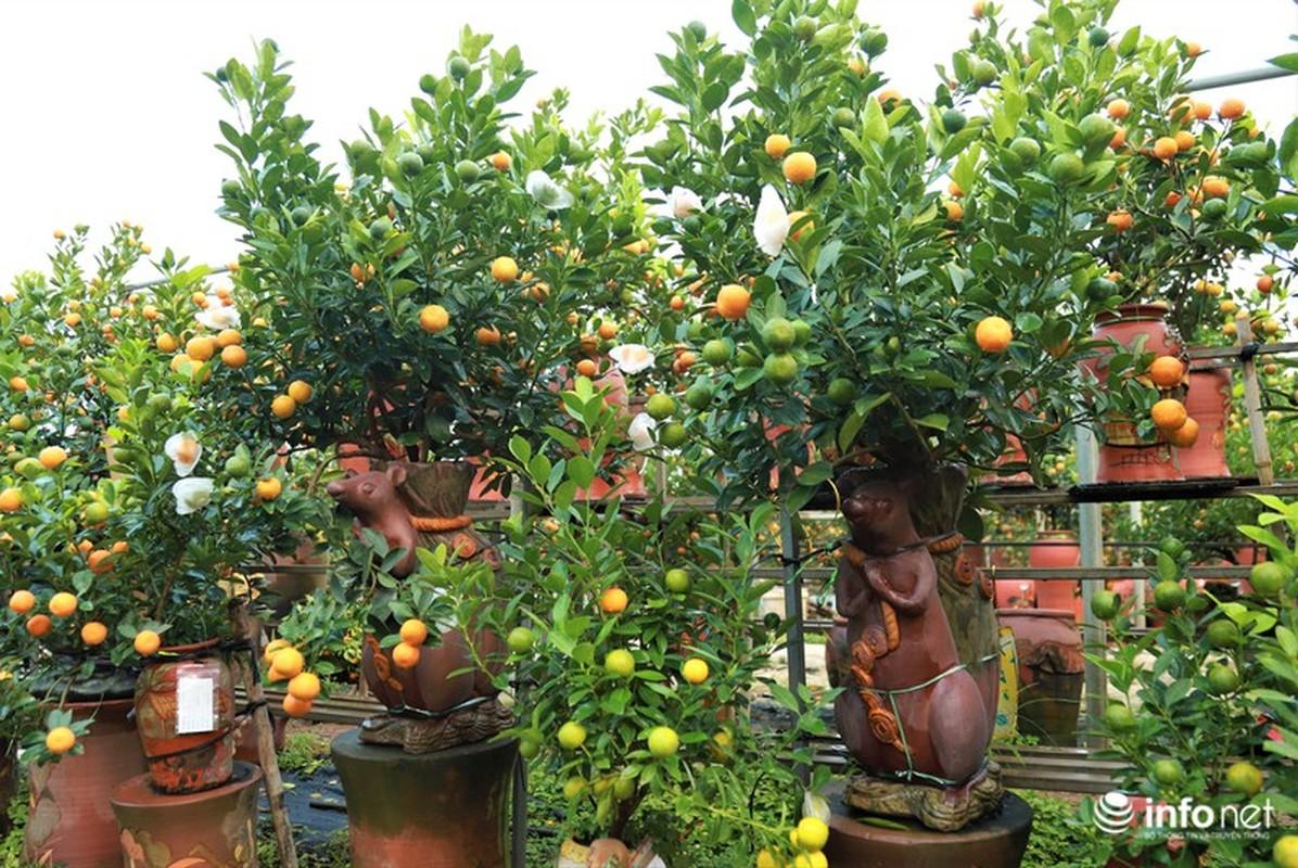 """Chuot cong quat bonsai"" gia ca trieu moi cay, hut khach dip Tet Canh Ty-Hinh-2"