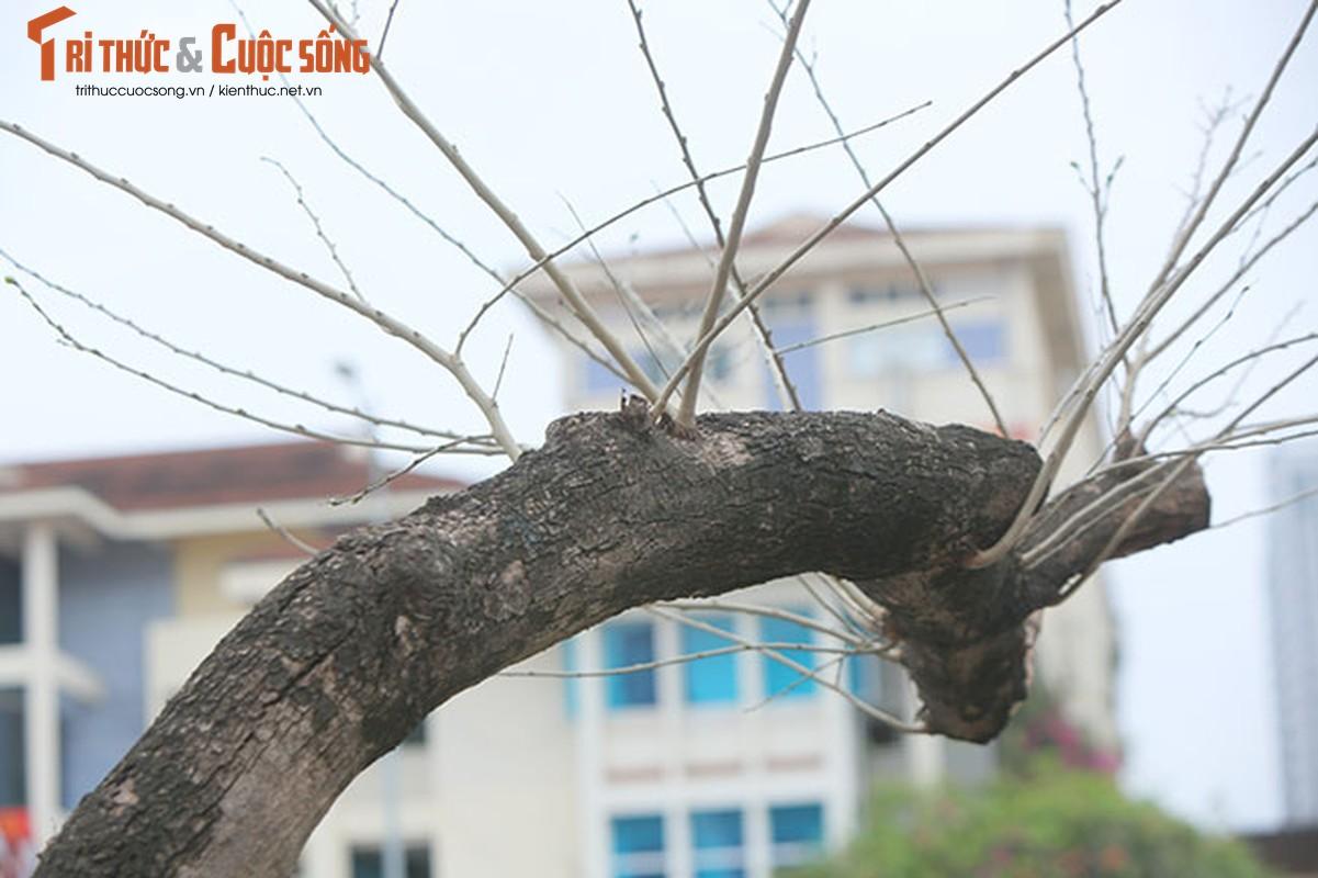 7 cay sua do o HN chet: Cty Thanh Cong Xanh co phai den tien ty?-Hinh-12