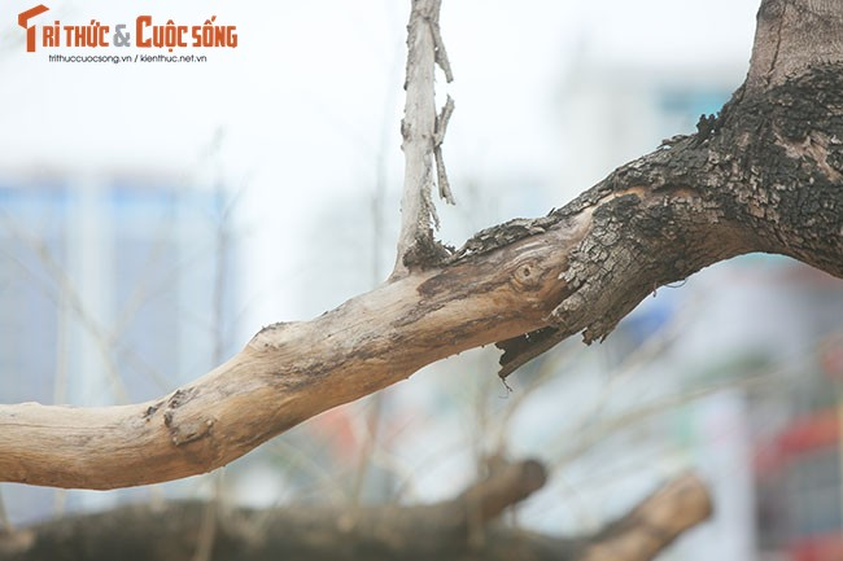 7 cay sua do o HN chet: Cty Thanh Cong Xanh co phai den tien ty?-Hinh-13