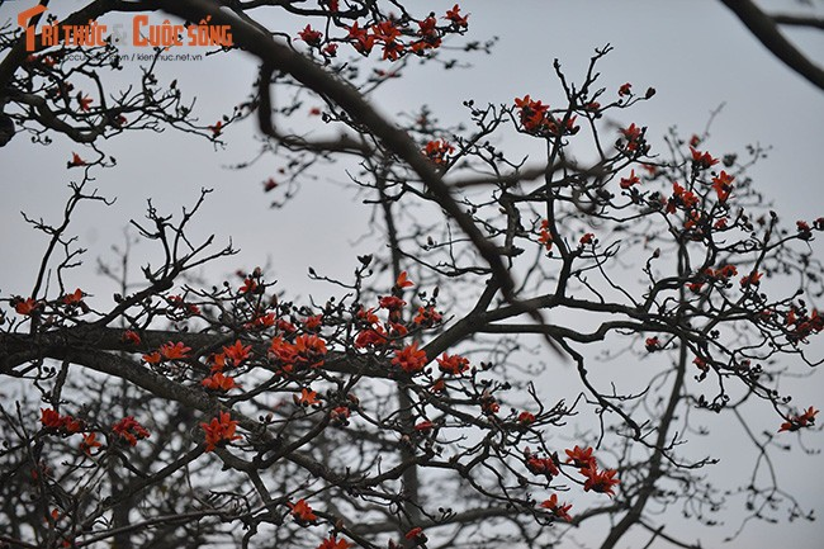 Hoa gao thang 3 do ruc ca goc troi Ha Noi-Hinh-10