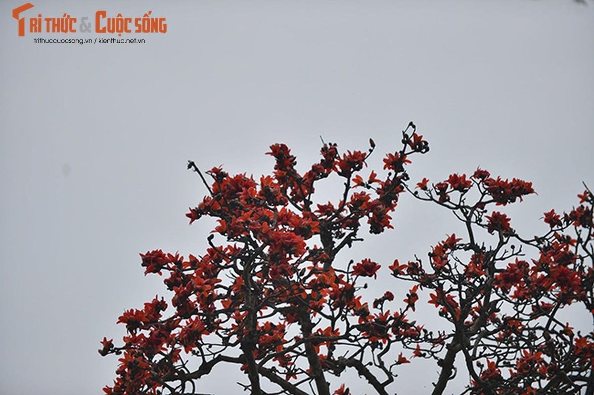 Hoa gao thang 3 do ruc ca goc troi Ha Noi-Hinh-8