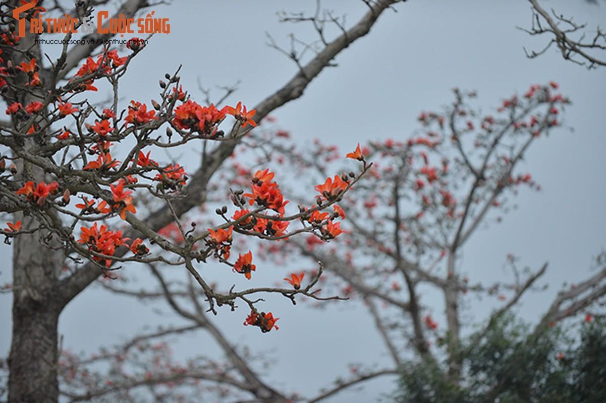 Hoa gao thang 3 do ruc ca goc troi Ha Noi-Hinh-9
